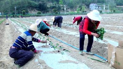 诗源茶旅:茶树栽植忙 助力茶旅融合