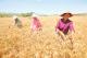育小麦良种促丰产增收