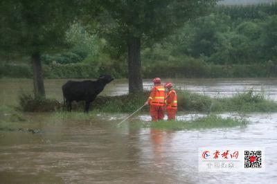 河水猛涨4头牛被困河中央 房县消防驾驶橡皮艇助力脱困