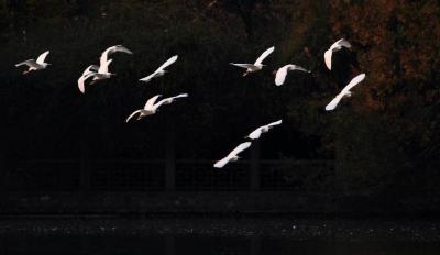 视频丨宣恩:贡水河上白鹭齐飞 画面不要太美