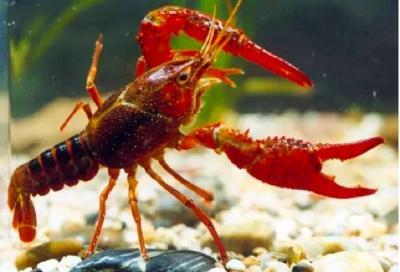 """""""吃""""不能解决问题,小龙虾上榜云南入侵物种名录"""