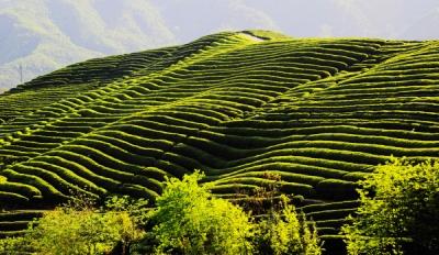 好山好水出好茶——竹山县茶业发展概述