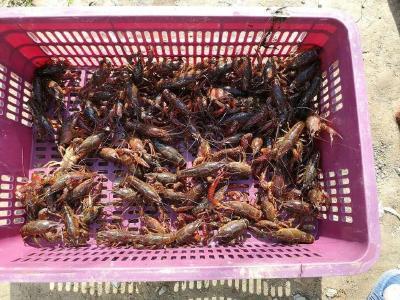 双河口村小龙虾养殖项目助力脱贫攻坚