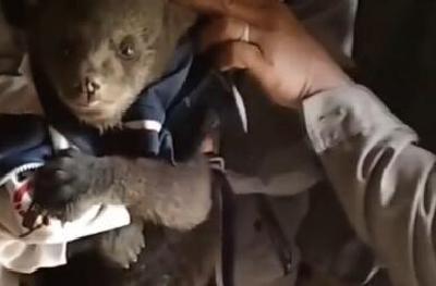 柳林乡墨池村发现一只黑熊幼崽