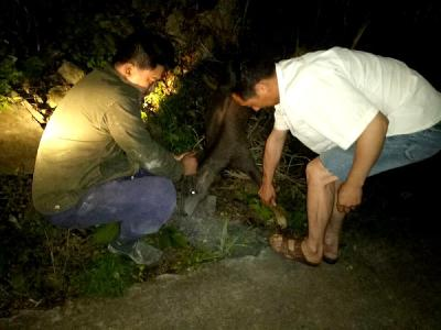 扶贫干部下乡途中救助国重点保护动物斑羚