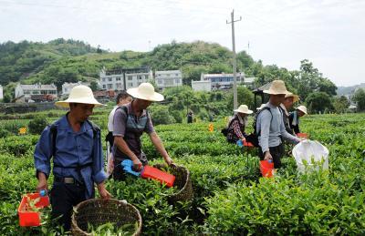 竹山:机械采茶省人工