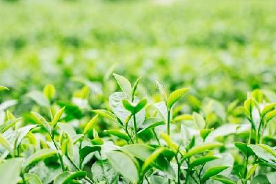 县领导督办圣水竹坪特种茶科技开发公司建设