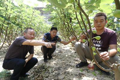 楼台乡:种植无花果促农增收