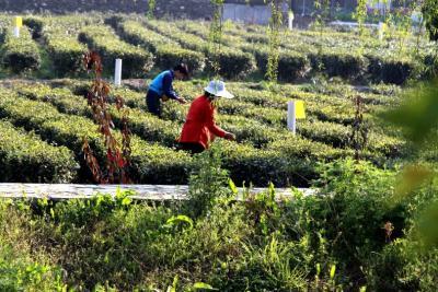 竹山舉辦首屆茶商大會