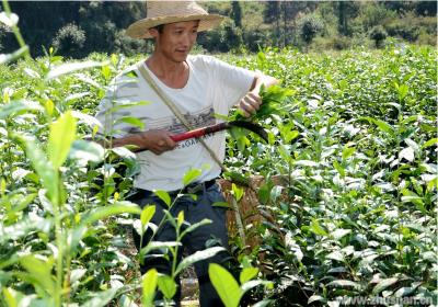竹坪鄉:無性系茶葉托起農戶致富夢