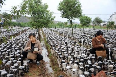 20萬棒地栽木耳獲豐收