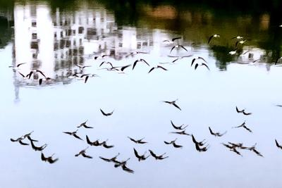 """【靈秀湖北·生靈歡歌】黑翅長腳鷸:水鳥""""超模"""""""