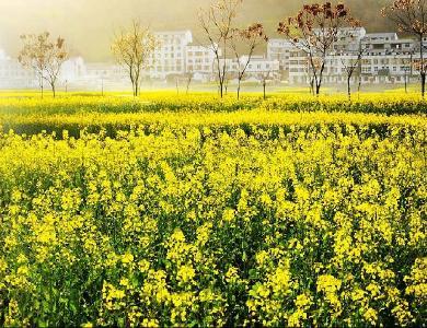 最是一年春好處,犁耙水響菜花香