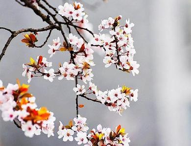 聽竹山 | 寒梅傲立迎春來