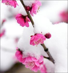 寒梅傲立迎春來