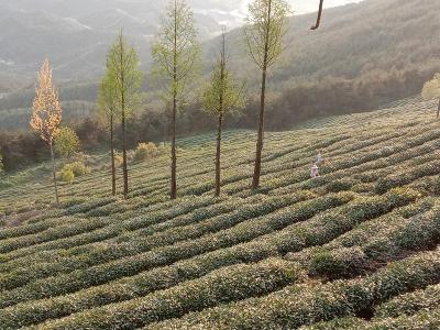 茶山情 · 毛尖香