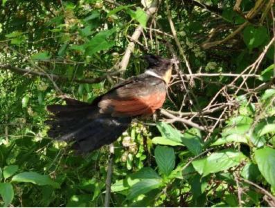 堵河源保護區成功救助一只紅翅鳳頭鵑