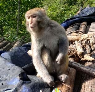 雙臺鄉發現一只野生獼猴