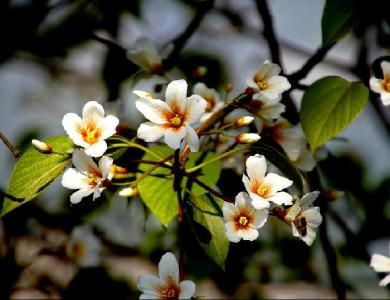 故乡的油桐花