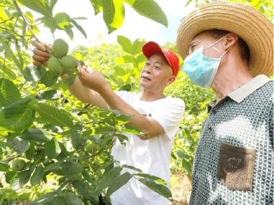 縣林業局發展林特產業助力脫貧致富