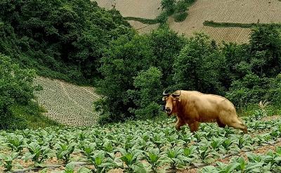 中國僅存數千頭!湖北十堰首次發現國家一級保護動物羚牛