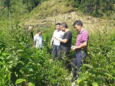 麻家渡镇聚焦产业规范发展助力茶农增收致富