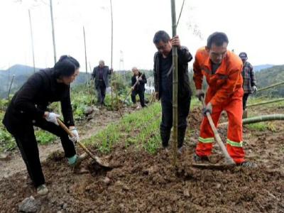 文峰乡秋冬季植竹造林工作全面铺开