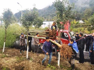 文峰乡高标准推进秋冬植竹造林