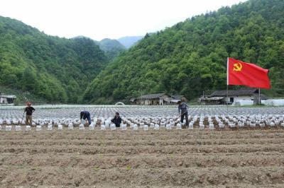?柳林鄉黨建引領興產業  鞏固脫貧促振興