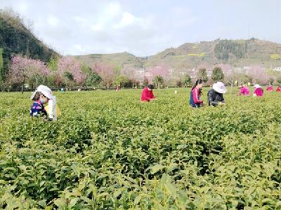 竹坪乡发展茶叶产业富了村民美了乡村