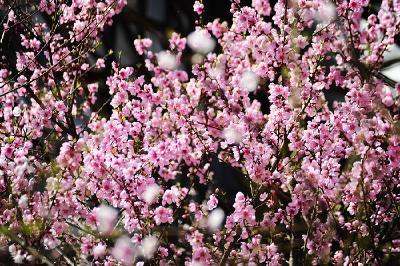 竹山:花萼相承二月时,深红浅紫总皆宜
