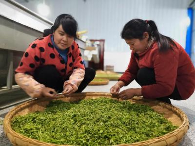 溢水杨家坝:古茶树飘香  村民采摘忙