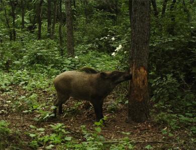 关于野猪泛滥成灾的四点对策建议