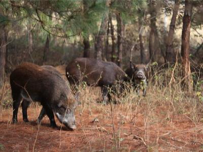 人退兽进,野猪下山,人兽抢粮偏远山区农业生产该如何应对?