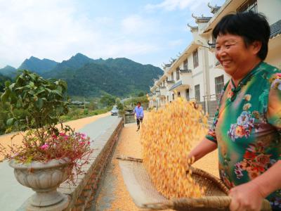 双台乡罗家村:玉米丰收 农民增收
