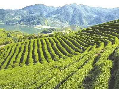 持续推进茶产业绿色高质量发展