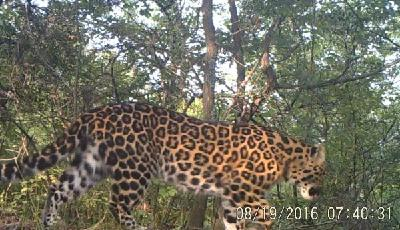 中国发现华北豹重要种群,独家视频曝光