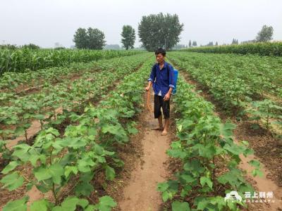 干货!梅雨季节,棉花防控减灾技术指导