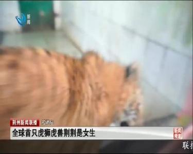短消息:全球首只虎狮虎兽荆荆是女生
