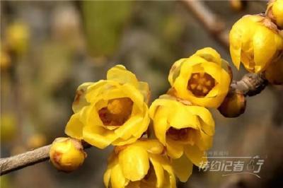 特约记者行:荆州市树腊梅绽放飘香