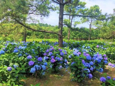 快来打卡!荆州区川店镇红旗林场绣球花迎来盛开季