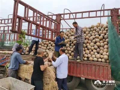 荆州区菱角湖管理区金盛源合作社1000亩南瓜喜获丰收