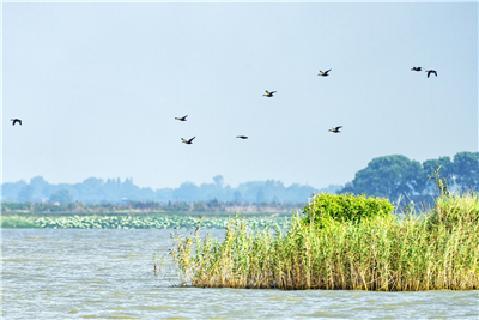 【灵秀湖北·生灵欢歌】首次发现!斑嘴鸭、绿头鸭在荆州大规模繁殖