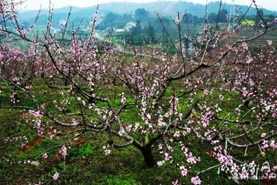 枝城镇第四届桃花节将于3月24日拉开序幕