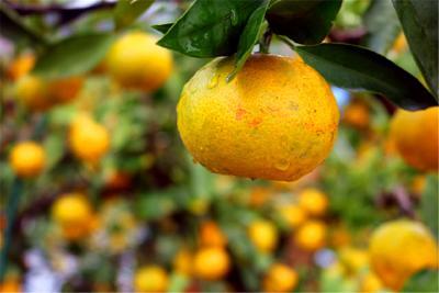 橘红白洪溪