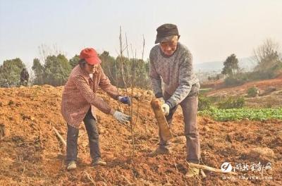 【三峡宜昌网】冬闲人不闲李树栽种忙