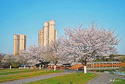春天里  来宜都赴一场樱花下的诗会