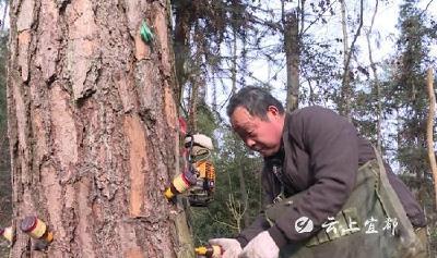 市林业局:打孔注药防治松材线虫病