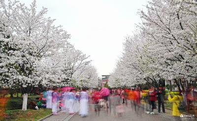 花开正盛!宜都这条樱花大道美翻整个春天……