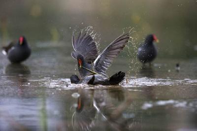"""红嘴、白尾、绿脚:百只黑水鸡成湿地公园""""常客"""